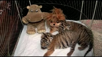 News Hounds: Rare tiger cubs