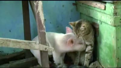 News Hounds: Cat adopts orphaned piglet