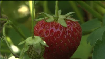 Late spring isn't destroying strawberry season